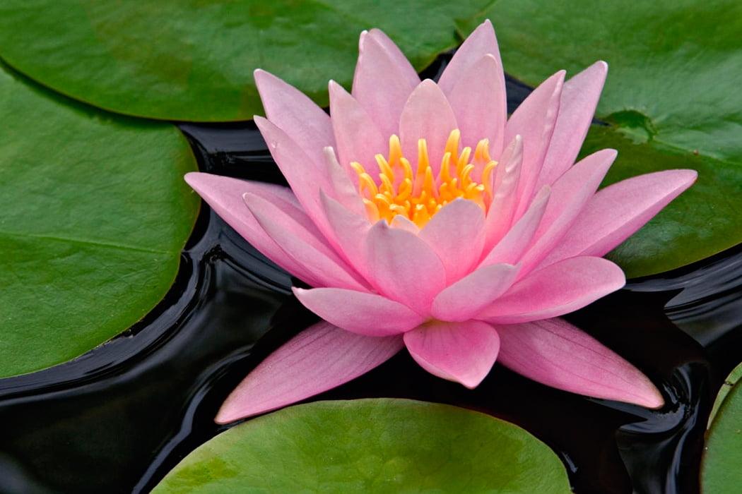 La Flor de Loto Crece en Aguas Tranquilas
